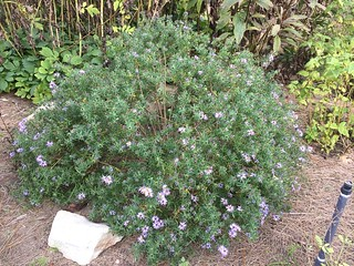 Aromatic Aster | by capemaynativeplants