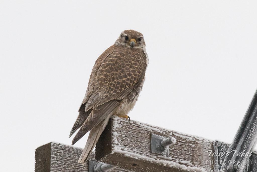 Frosty Prairie Falcon