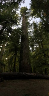 Tofino - Cathedral Grove the great big tree | by Pierre Yeremian