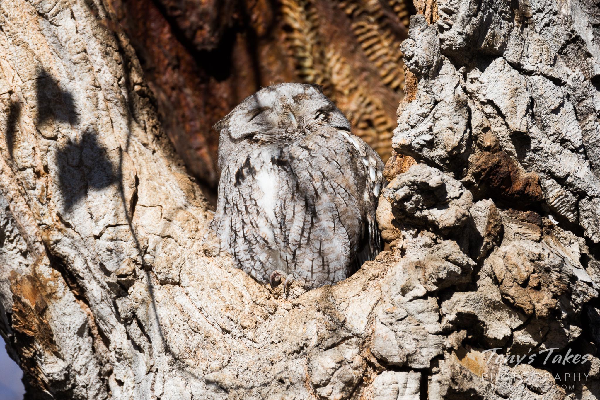 An Eastern Screech Owl soaks in the sun near Denver, Colorado. © Tony's Takes