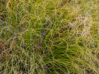 Grasses curl to conserve moisture when it's windy   by snackronym