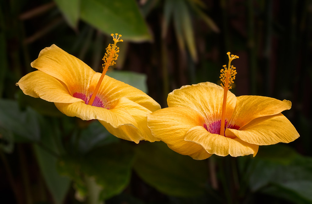 Yellow Hibiscus Gumamela Taken In My Garden Hibiscus Is Flickr