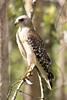 Red-shouldered Hawk by DFChurch