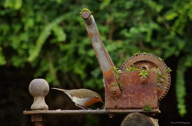 robin on rusty winch (1)