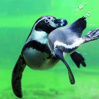 Penguin swimming by Aaran Boulton