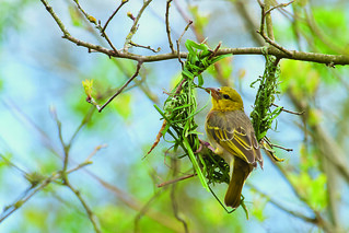 Village weaver by Martin