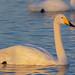 オオハクチョウ(Whooper swan)