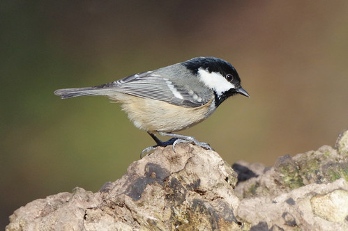 lackfordlakes suffolk wildlife nature wild bird coaltit periparusater