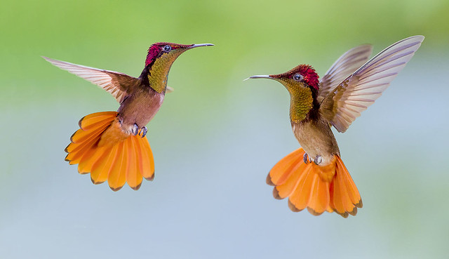 Ruby Topaz Hummingbirds dancing in the air , Trinidad. Chrysolampis mosquitus.
