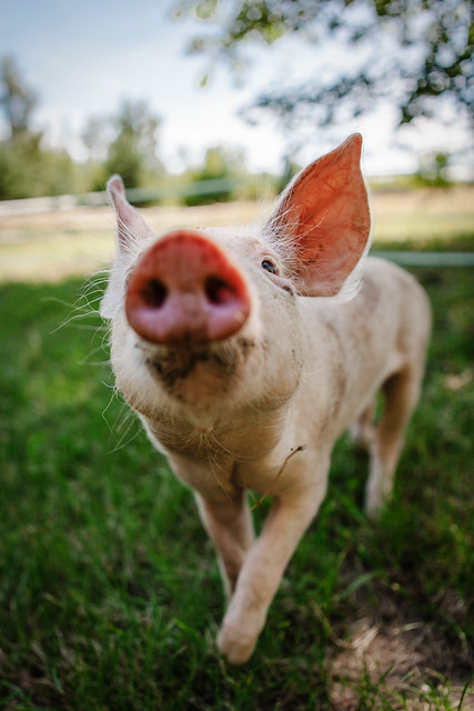2017-07-LDT-Schweine-25.jpg