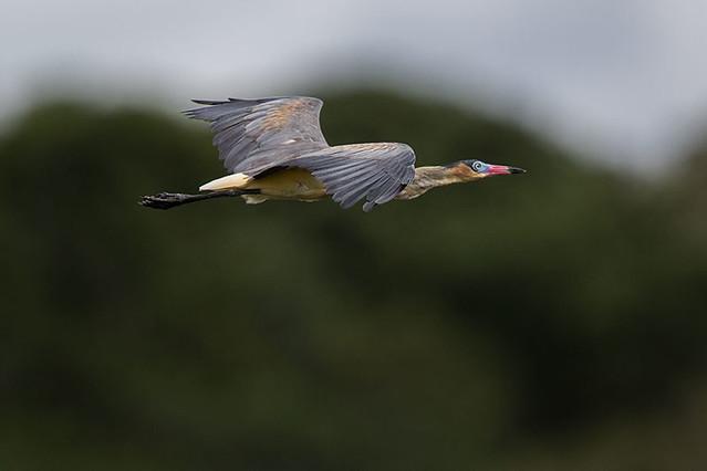 Maria-faceira (Syrigma sibilatrix) - Whistling Heron