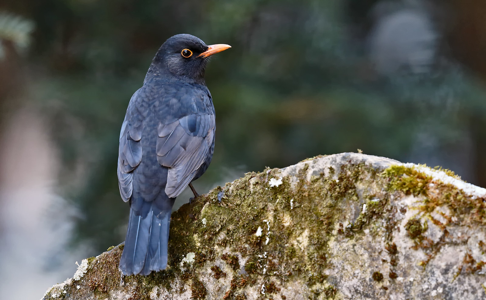 Blackbird on gravestone