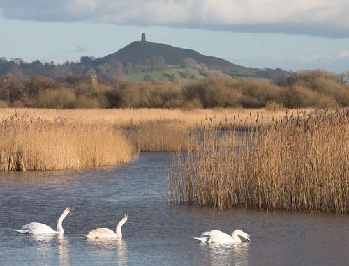 swan cygnet hamwall nature reserve rspb wildlife birds reeds glastonbury somerset england britain winter landscape