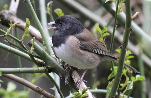 birdsofwashington bird washingtonbirds juncohyemalis junco oregonjunco darkeyedjunco
