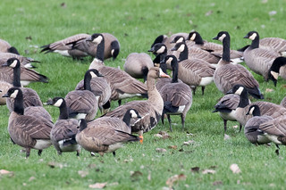 Greater White-fronted Goose (Anser albifrons) | by Mason Flint