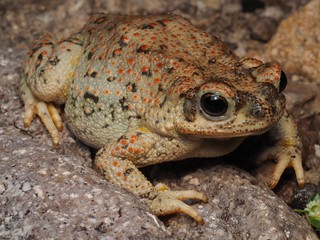 Red-Spotted Toad (Anaxyrus puctatus) | by NicholasHess