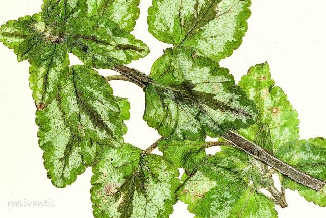 Bont blad/Spotted leaves