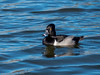 Ring-necked Duck by Ramona H