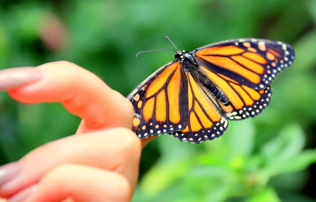 905049c02 butterfly on the finger (Monarch) | sirpa Jyske | Flickr