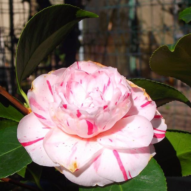 PERPIGNAN GARDEN CAMELIA FLOWER