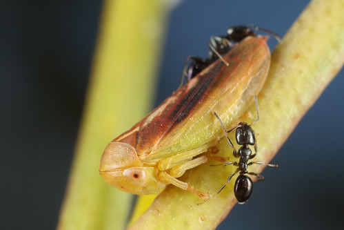 Leafhopper nymph and attendants