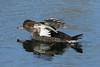 Lophodytes cucullatus ♀ (Hooded Merganser) - Nisqually NWR, WA USA by Nick Dean1