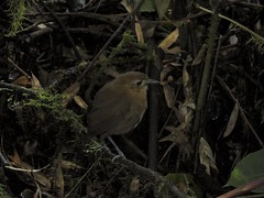 Brown-banded Antpitta (Grallaria milleri)
