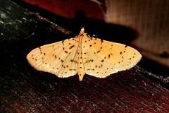 Crambidae: Conogethes cf. punctiferalis (Durian Fruit Borer, Yellow Peach Moth)