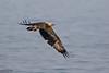 White-bellied Sea-Eagles, Haliaeetus leucogaster by Kevin B Agar