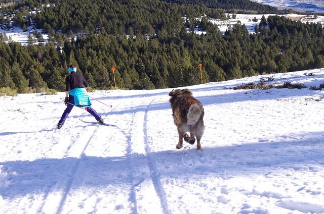 Le Leonberg n'a pas besoin de skis