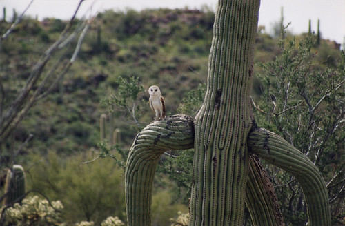 A funny little owl in a prickly saguaro cactus, Arizona