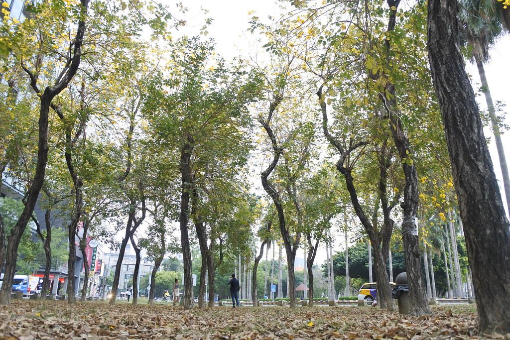 金黃花風鈴木