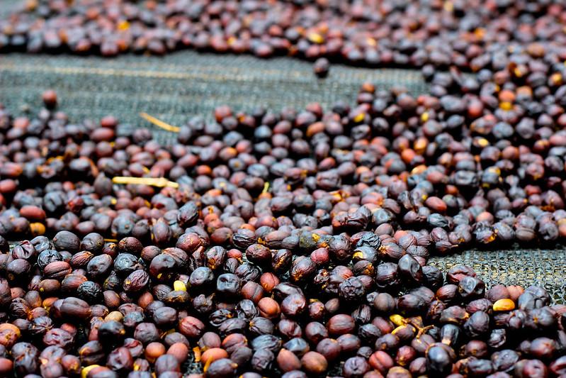 Cà phê chế biến khô ở Costarica 2