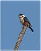Collared Falconet by Aravind Venkatraman