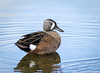Blue-winged Teal (Anas discors) - Green Cay Wetlands, Florida by JFPescatore