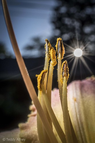 lily stamen pistil yellow garden nature sunset anther sun sky