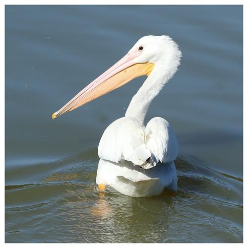 Pelicans Pelecanus Erythrorhynchos: American White Pelican - Pelecanus Erythrorhynchos