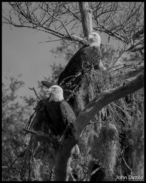 Eagles of Lake George Florida