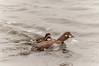 Strømand (Histrionicus histrionicus) - Harlequin Duck - Kragenente - Pato Arlequín - Straumönd by Søren Vinding