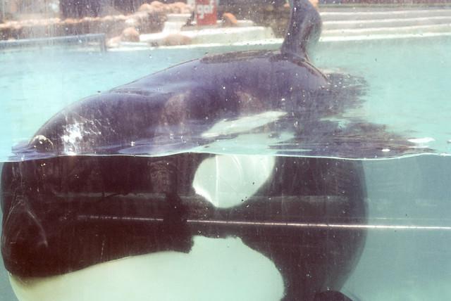 Killer whale Sea World San Diego CA June 1976 (2).jpg