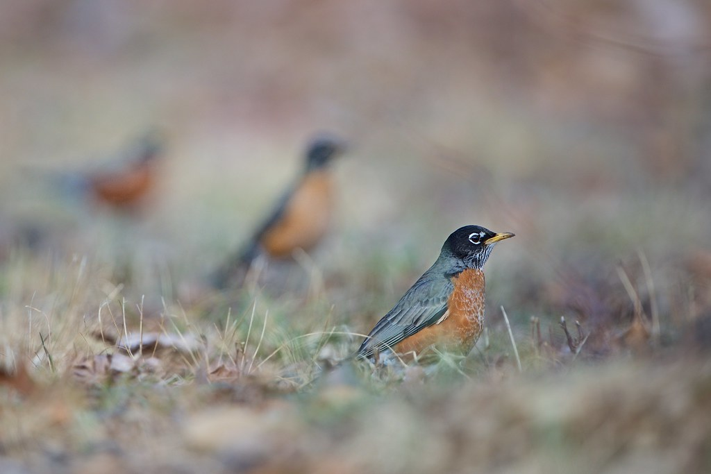 Robins in the Grass
