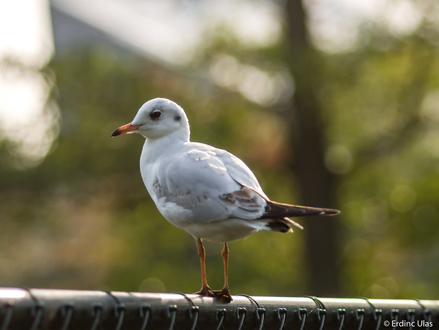 Little seagull