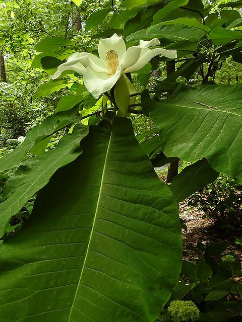 Hot Springs - Big Flower, Big Leaves
