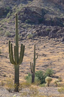 BGAFR -  gate 15 fancy Saguaro with Cholla in the pic | by Pierre Yeremian