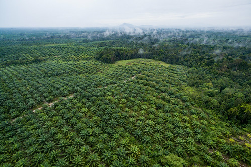 Aerial view of oil palm plantation | by CIFOR