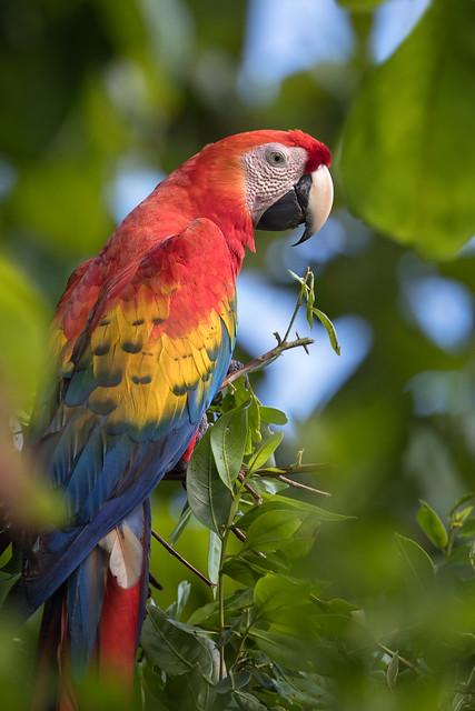 Scarlet Macaw closeup