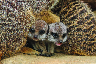 Meerkats by Mark Fryer