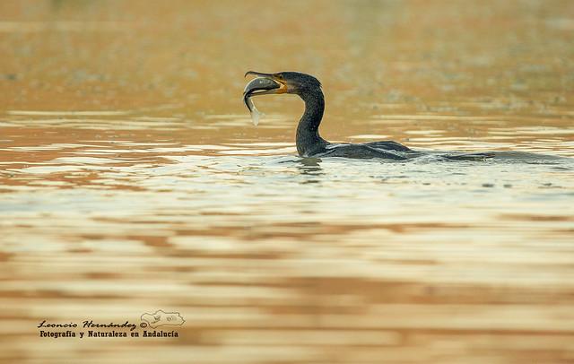 La pesca del cormorán--Cormorán grande (Phalacrocorax carbo)