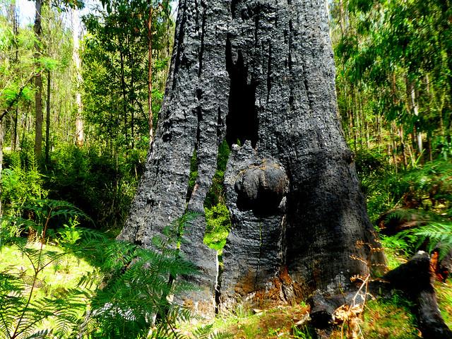 Burnt-out giant, Murrindindi, Victoria