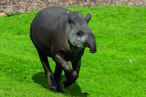 Tapir by Natasha Jefferies